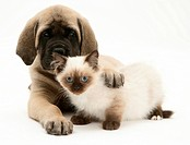 English Mastiff pup with young Birman_cross cat.