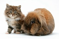Maine Coon kitten, 7 weeks old, and Lionhead rabbit.