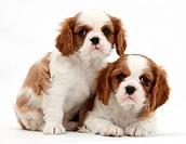 Blenheim Cavalier King Charles Spaniel pups.