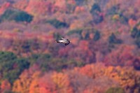 Peregrine Falcon, Falco peregrinus, in fall migration in CT.