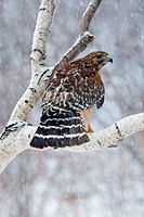 Red_shouldered Hawk, Buteo lineatus, adult, CT.