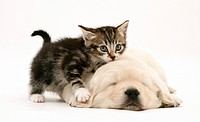 Tabby kitten with paw up on sleeping Golden Retriever pup.
