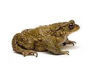 Common Toad Bufo bufo.