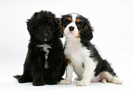 A Shetland sheepdog and poodle mix puppy on the left and a tricolor cavalier King Charles spaniel puppy.