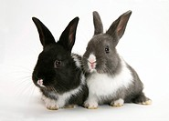 Young Dutch_cross rabbits.