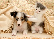 Birman_cross kitten and tricolour merle Shetland Sheepdog pup under blanket.