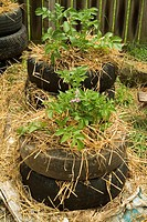 Potatoes being grown in used old automobile tyres