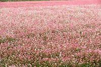 Field of pink flowering buckwheat