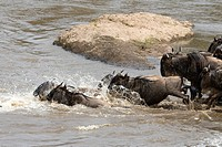 A wildebeest herd crosses the Talek River during the Great Migration in Kenya