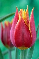 Tulipa schrenkii Tulip Miscellaneous Group