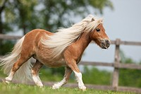 Falabella miniature horse _ trotting on a meadow