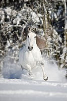 Pure Spanish_bred horse _ galloping in the snow