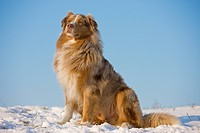 Australian Shepherd dog _ sitting in snow