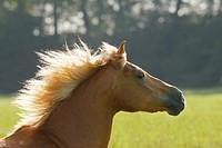 Haflinger horse _ portrait