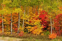 Red maples and aspens