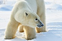 Polar bear Ursus maritimus foraging in the snow, possibly for berries in early winter