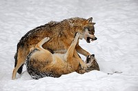 European grey wolves fighting Canis lupus, captive  Bayerischerwald National Park, Germany