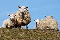 Schafe mit Lämmern  Hausschafe , Ovis aries, Schleswig-Holstein  Deutschland , Sheaps with Lambs  Domestic Cheaps , Ovis aries, Schleswig-Holstein  Ge...