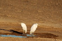 Cattle Egret Bubulcus ibis - At a roadside puddle in the Namib Desert  Namib-Naukluft Park, Namibia