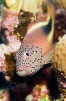 Egypt, Red Sea, Forster´s hawkfish Paracirrhites forsteri close_up