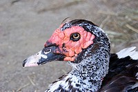 Muscovy duck  Massachusetts, USA