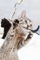 Domestic cat, kitten playing with spectacles