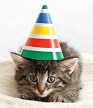 Domestic cat, kitten wearing carnival hat, portrait