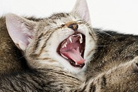 Domestic cat, kitten yawning, portrait, close_up