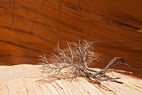 USA, Utah, Coyote Buttes, Dead branch on rock, close_up