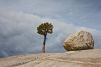 USA, California, Yosemite National Park, Olmsted point, Granitic rock and Jeffrey Pine tree Pinus jeffreyi