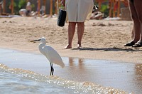 Egypt, Hurghada, Median Egret Egretta intermedia on beach, persons in background