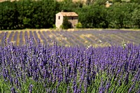 France, Provence, Auribeau, Lavender fields, stone house in background
