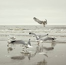 Germany, Sankt Peter Ording, Seagulls at seashore