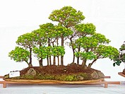 Bonsai of Palm Duranta Tree, Empress garden, Pune, Maharashtra, India