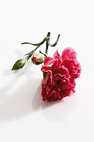 Red carnation Dianthus