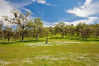 USA, California, Oak trees in meadow
