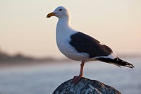 USA, California, California Gull Larus californicus side view, close_up