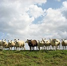 Netherlands, Flock of sheep standing on field