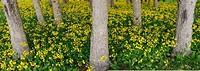 Panorama of blanket of yellow flowering wildflowers in a forest in Cape Breton Island Canada