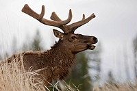 USA, Yellowstone Park, Elk Cervus canadensis, side view