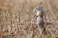 USA, Yellowstone Park, Uinita Ground Squirrel Spermophilus armatus