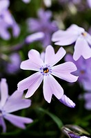 Moss phlox Phlox subulata 'Emerald Cushion Blue'