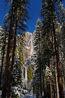 Tall pines in the valley of Yosemite National Park with both the Upper and Lower Yosemite Falls in winter