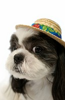 Shih Tzu Dog Looking at Camera, Wearing Straw Hat