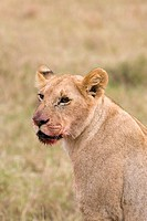 A young lion on the plains of the Masai Mara in Kenya after a meal