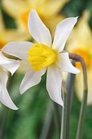 Narcissus 'White Lady' Daffodil Div 3 Small-cupped