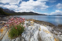 Argentina, Tierra Del Fuego, Tierra Del Fuego National Park  Thrift growing on the rocky shoreline of Ensenada Bay