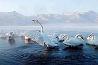 Flock of Whooper swans Cygnus cygnus in a hot spring