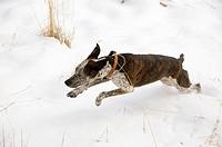 A dog runs in the snow
