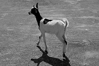 Black and white goat image